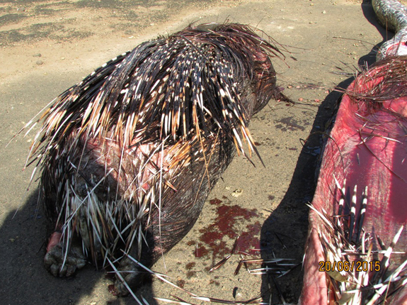 Porcupine dead