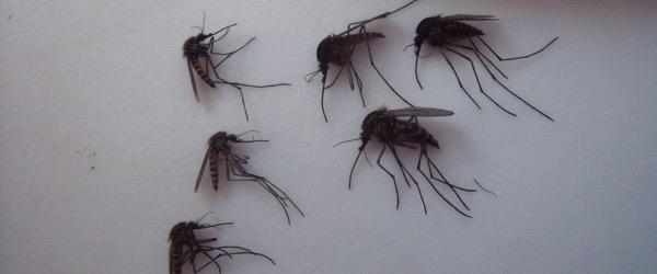 Ht mosquitos 1 kab 150917 12x5 1600
